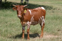RHF SHARP GINGER HEIFER TAG 98